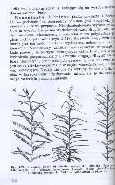 Uprawa i eksploatacja wikliny