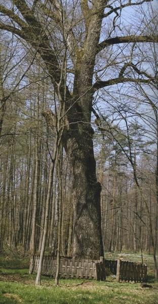 magiczne-drzewa-w-dziejach-legendach-i-srodowisku-nad-srodkowym-sanem-2