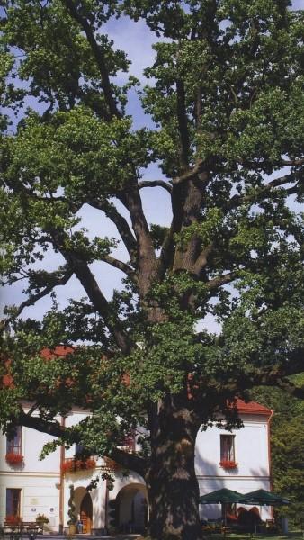 magiczne-drzewa-w-dziejach-legendach-i-srodowisku-nad-srodkowym-sanem-1